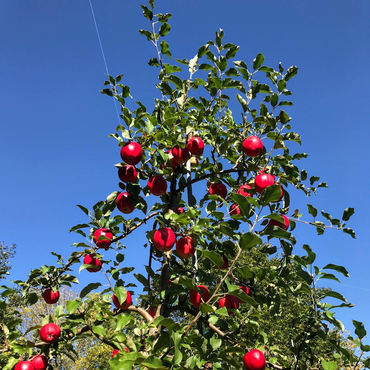 りんごの収穫2021