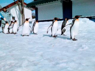 2019−2020シーズン ペンギンの散歩はいつから??