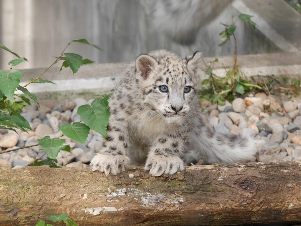 赤ちゃん ユキヒョウ ユキヒョウの赤ちゃん可愛いすぎ…旭山動物園で一般公開開始!